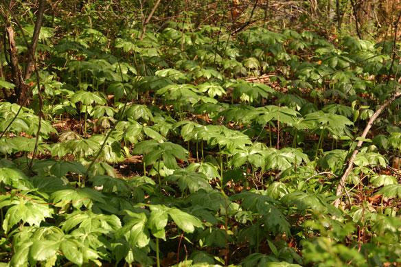podophyllum-peltatum-colony