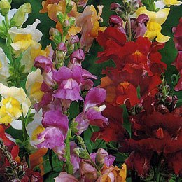Antirrhinum majus, (snapdragon), 'Snappy Tongue'