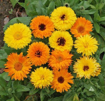calendula officinalis,