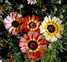 Chrysanthemum carinatum, (painted daisy),