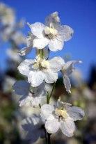 Delphinium x belladonna