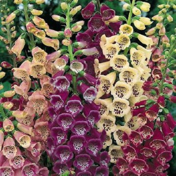 Digitalis purpurea, (foxglove)