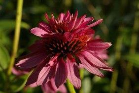 Echinacea purpurea,