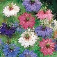 Nigella damascena (love-in-a-mist),