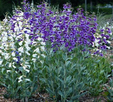 Penstemon 'War Axe'