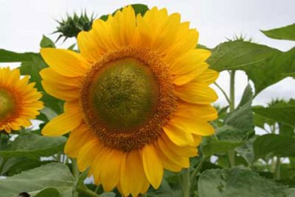 Summer Breeze Sunflower