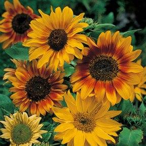 Autumn Time Sunflower