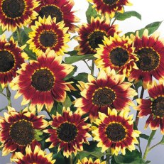 Florenza Sunflower