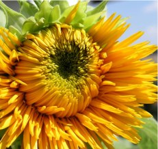 Golden Cheer Sunflower