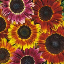 Harlequin Sunflower