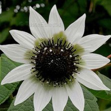 Italian Greenheart Sunflower