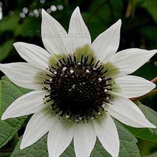Italian Greenheart Sunflower