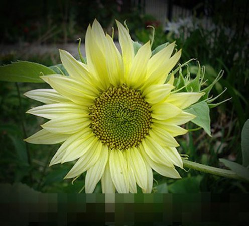 Jade Sunflower