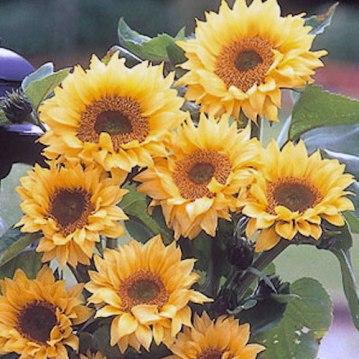 Peach Passion Sunflower