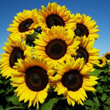 Procuts Brilliance Sunflower