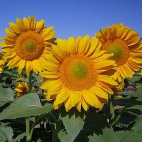Procuts Gold sunflower