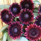 Procut red sunflower