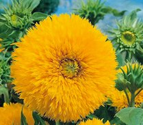 Sungold Sunflower