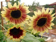 bohemian rhapsody sunflower