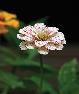 zinnia-candy-cane-mix